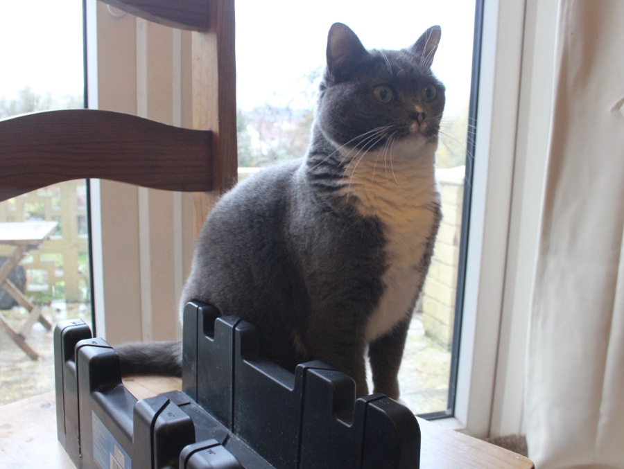 stevie-grey-cat